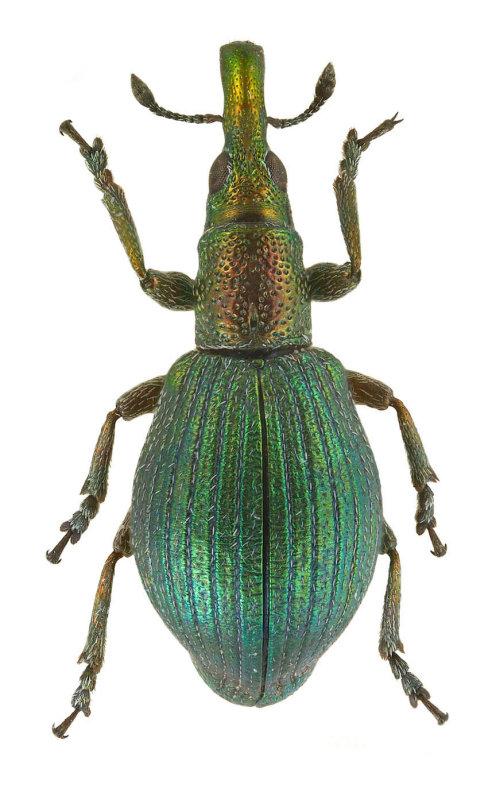 Apion artemisiae (Russia) -  body length: 3.5 mm