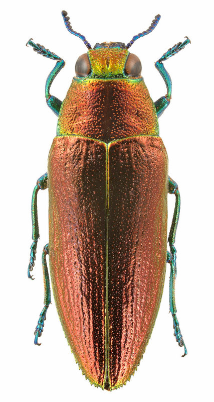 Philocteanus plutus (Fam. Buprestidae); Myanmar
