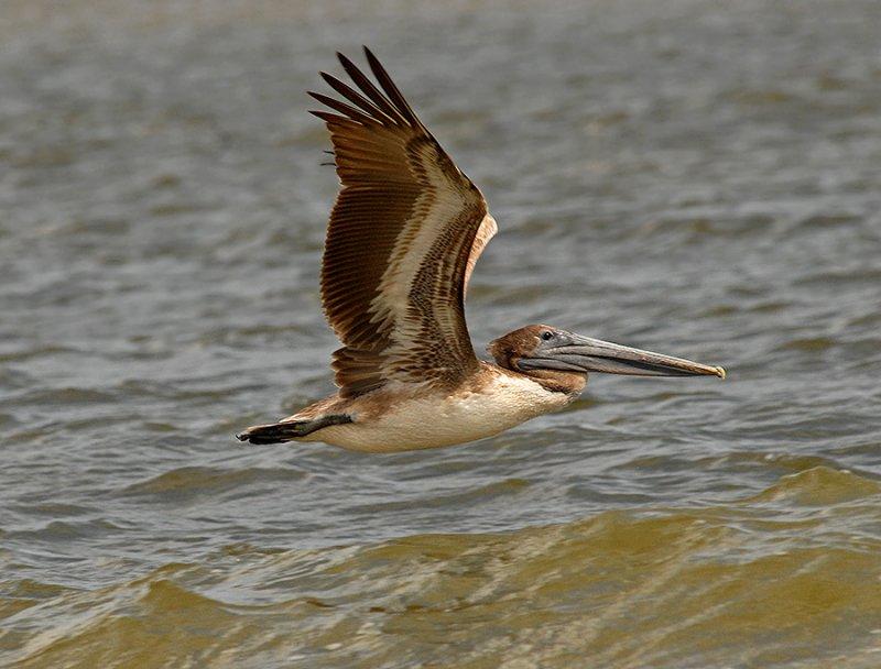Atlantic Brown Pelican