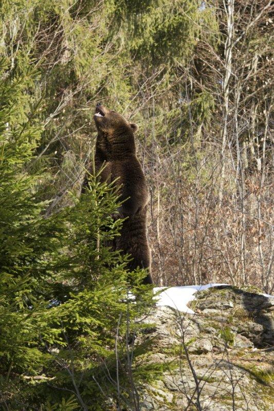 Brown Bear 007.JPG
