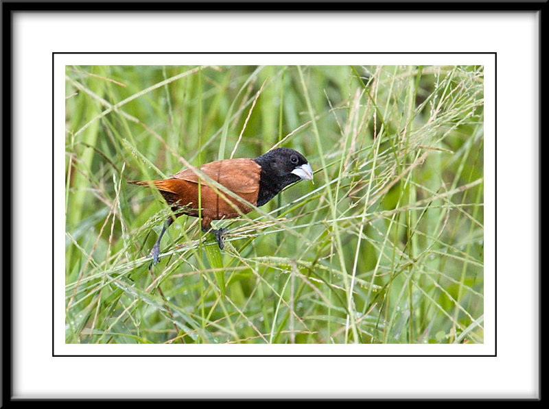 Black-Headed Munia.jpg