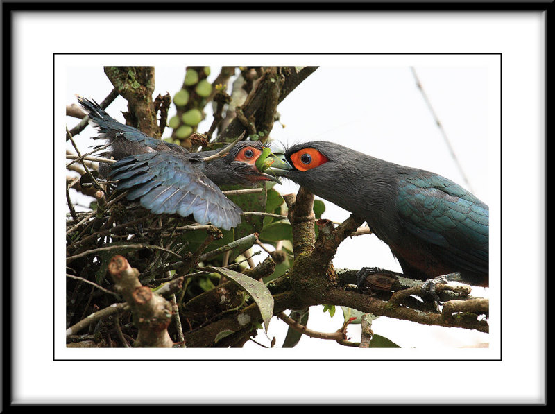 Chestnut Breasted Malkoha feeding.jpg