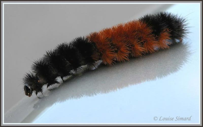Isia isabelle / Banded Woollybear / Pyrrharctia isabella