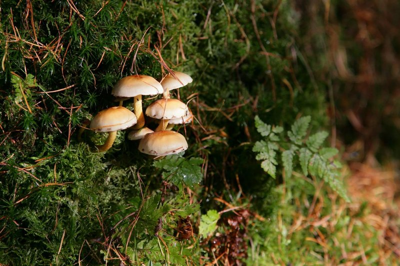 Sulphur Tuft (hypoloma capnoides)