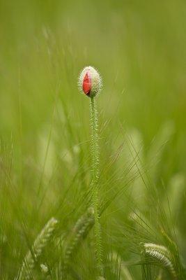 Lone Poppy Being Born