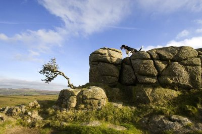 Dog looking out over dartmoor