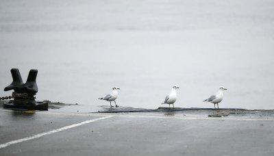 Three gulls waiting for a Bus
