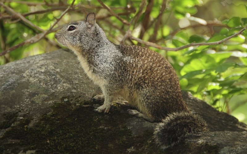 Gold Country Squirrel