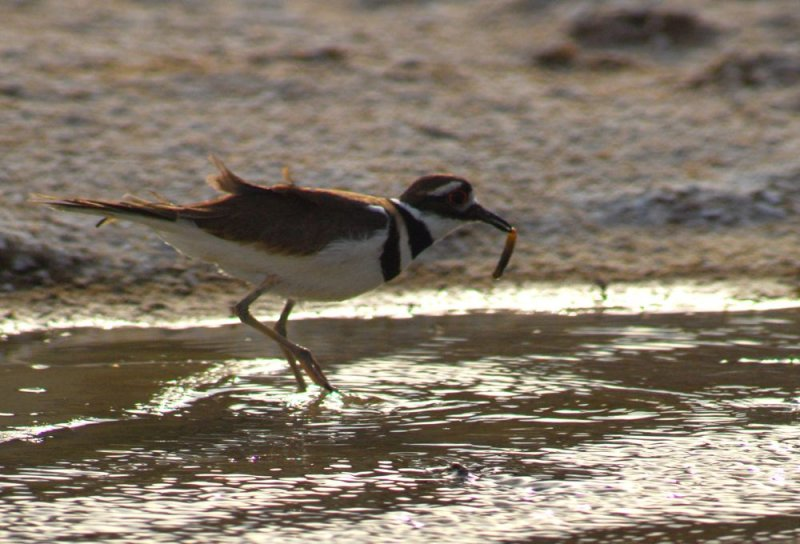 Killdeer With Captured Pup Fish