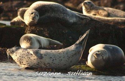 harbor seals Salisbury Ma