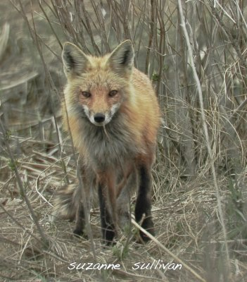 red fox plum island