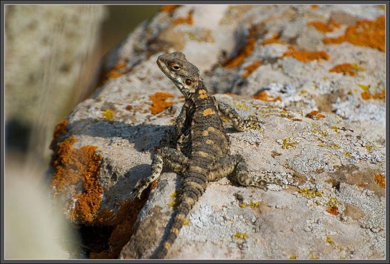 A roughtail lizard - Golan heights