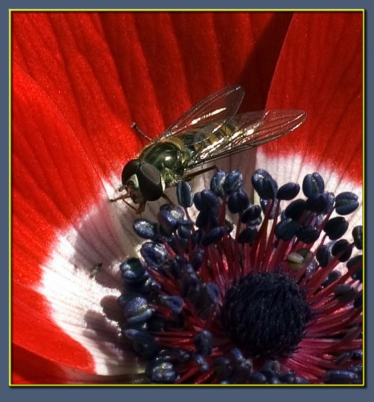 Poppies and flies