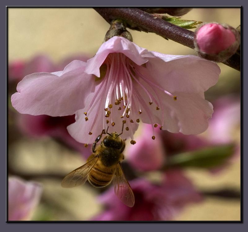 The peach tree blossom