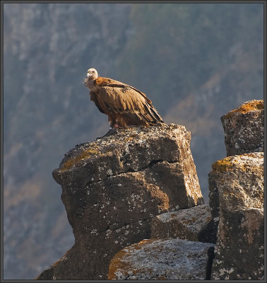 Griffon vulture - Golan heights