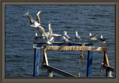Seagulls in the Kinneret