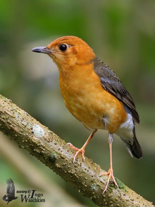 Adult female Orange-headed Thrush