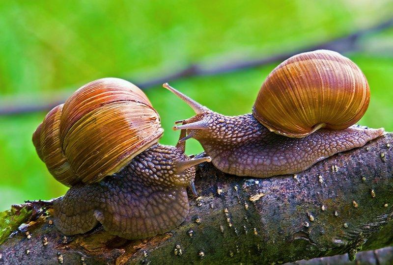 Roman Snail (2)