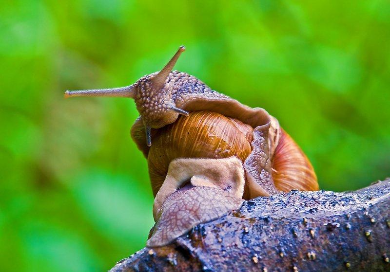 Roman Snail (4)