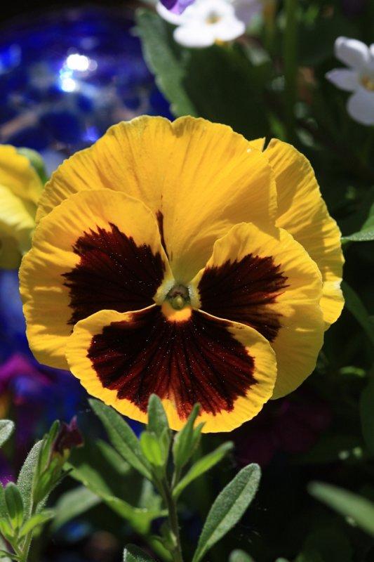 Yellow Pansy Macro<BR>May 21, 2010