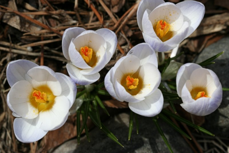 Crocus<BR>April 5, 2008