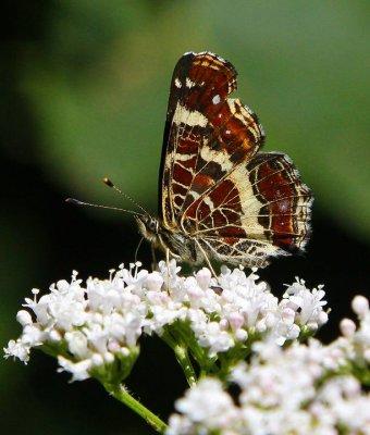 Kartfjäril (Araschnia levana)