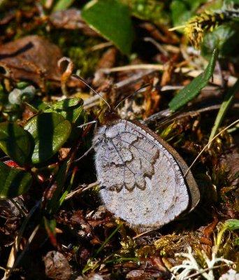 Fjällgräsfjäril (Erebia pandrose)