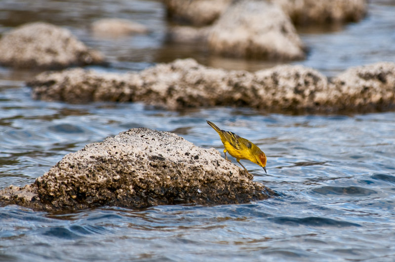 Yellow Warbler at Playa Ochoa