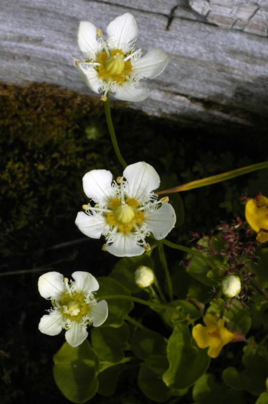 Fringed grass-of-Parnassus