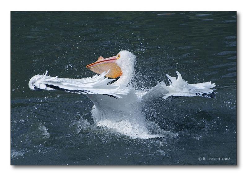 Ballet of the pelican :)