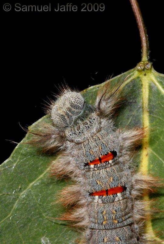 Phyllodesma americana - Lappet Moth