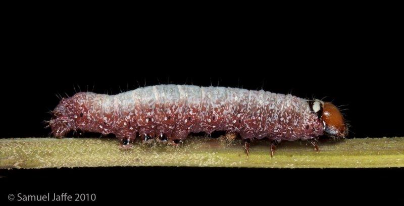 Psaphida styracis - Fawn Sallow