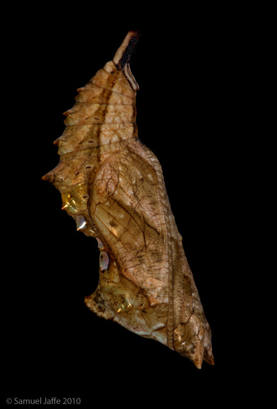 Polygonia comma - Comma Chrysalis