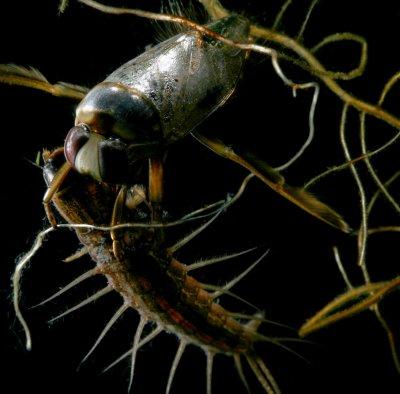 Notonecta irrorata - Backswimmer, eating Hellgrammite