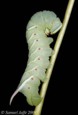 Ceratomia undulosa - Waved Sphinx