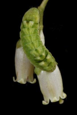 Celastrina ladon ssp. Highbush Blueberry - Spring Azure