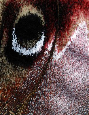 Male Cecropia Scales