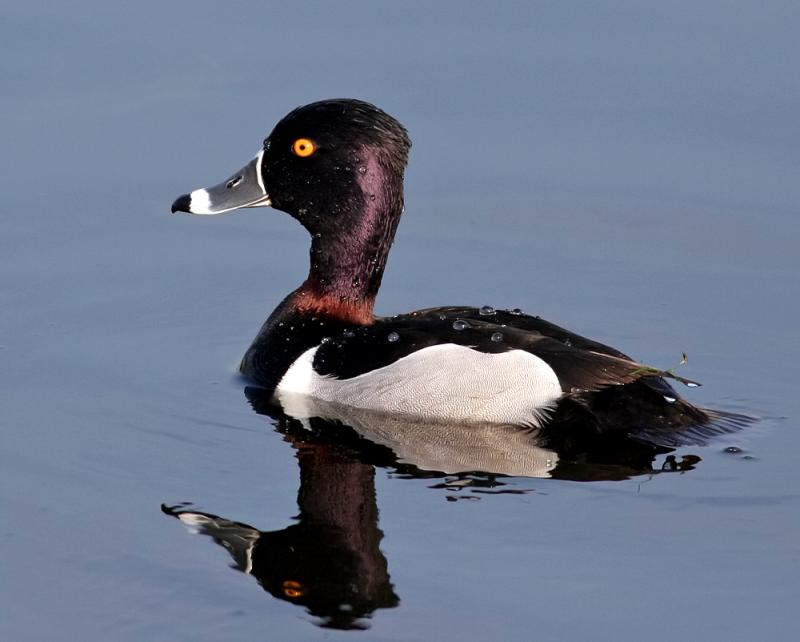 Duck, Ring-necked