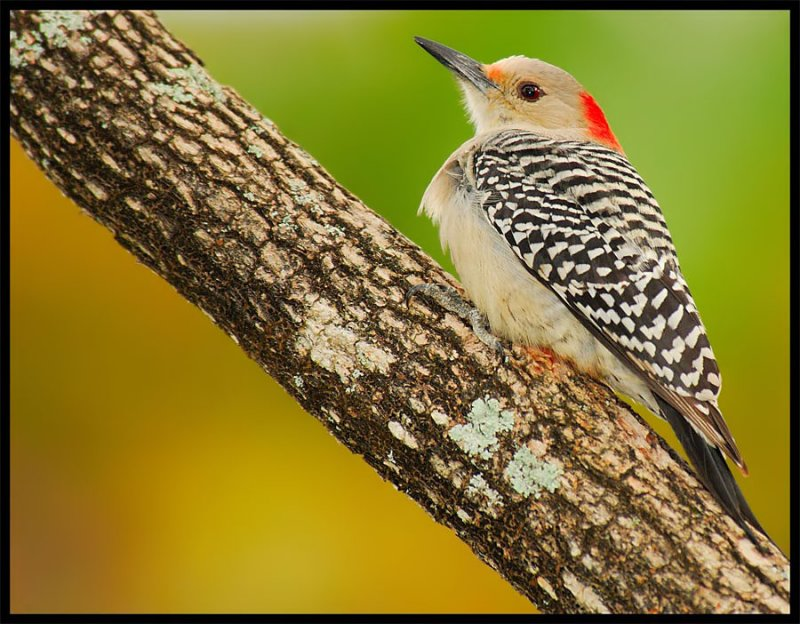 Red-Bellied Woodpecker - Birds of Florida