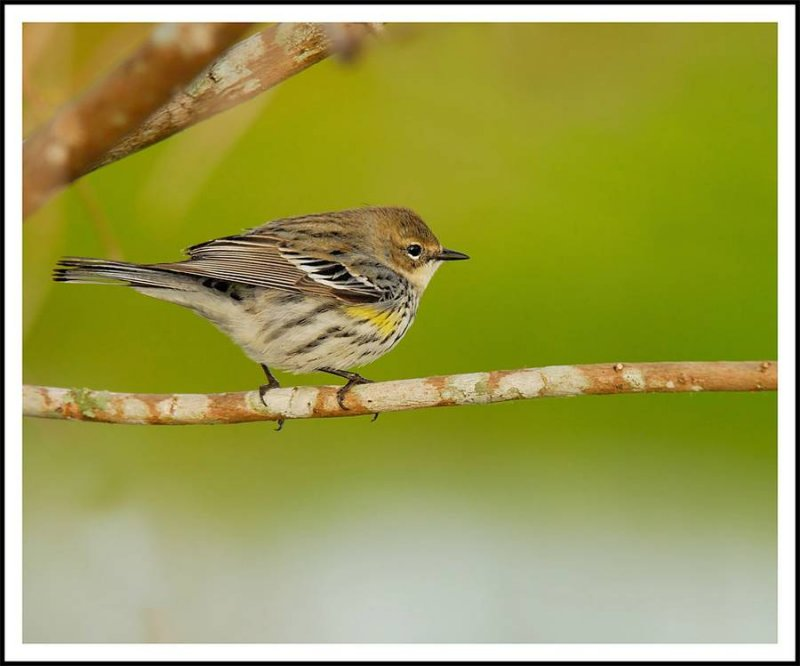 Yellow Rumped Warbler - Birds of Florida