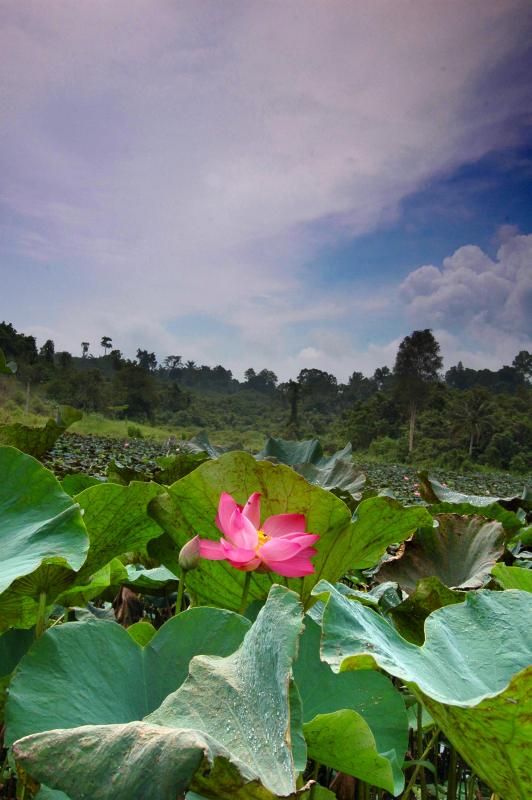 Lotus Pond at Loa Janan