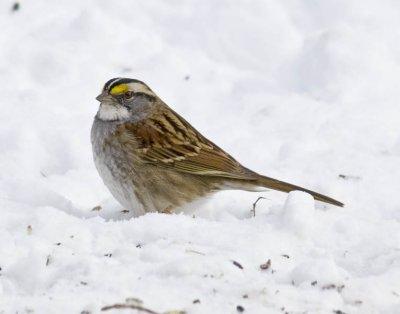 January 10, 2010  -  White-Throated Sparrow