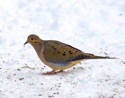 January 11, 2010  -  Mourning Dove
