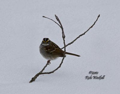 January 31, 2010  -  Isolated Sparrow
