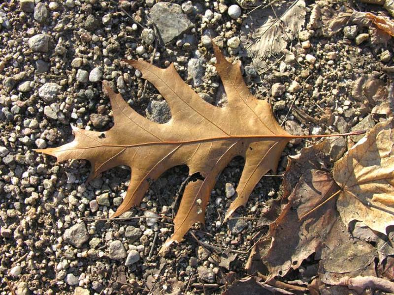 oak leaf in light