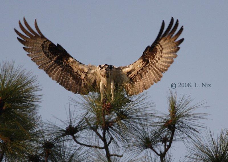 Big Osprey