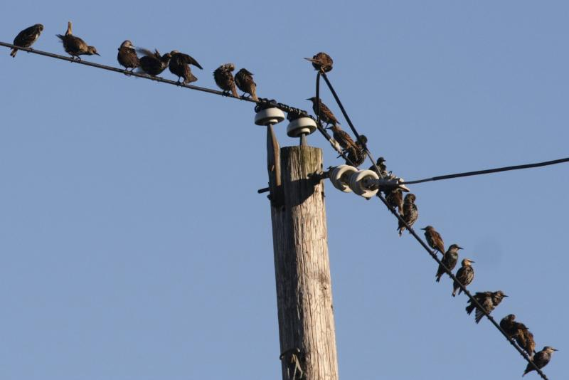 European Starlings (Sturnus vulgaris)