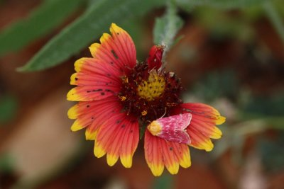 Flower Moth, Schinia volupia