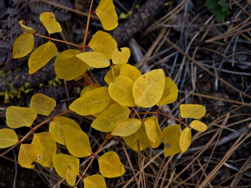 <B>Forests Gold</B> <BR><FONT SIZE=2>Sisters, Oregon - September - 2008</FONT>
