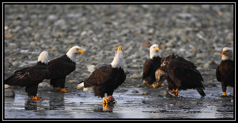 Bald eagles <div class=cr>&copy;  Liz Stanley</div>